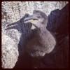Jeune cormoran huppé (cliché : Guillaume DEBOUT) []