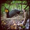 Le Cormoran huppé défend son nid (cliché : Guillaume DEBOUT) []
