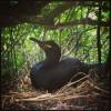 Cormoran huppé au nid (cliché : Guillaume DEBOUT) []