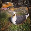 Goéland marin au nid (cliché : Guillaume DEBOUT) []