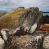 Jeunes cormorans huppés (cliché : Guillaume DEBOUT) []